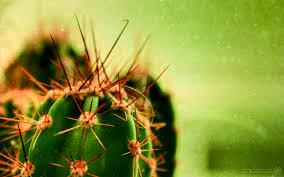 cactus plant wallpaper jpg jpeg grafik 1680 1050 pixel