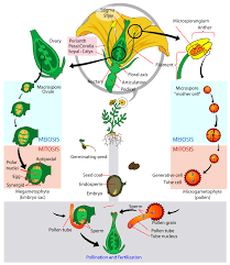 glossary of plant morphology wikipedia