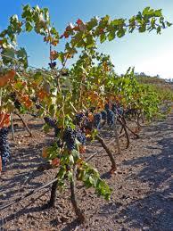 free images tree vine vineyard fruit leaf flower food