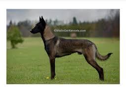 belgian shepherd dog temperament gorgeous dark fawn sable belgian malinois from malinger kennels