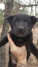 belgian malinois puppies for sale 2016 view ad belgian malinois dutch shepherd dog mix puppy for sale