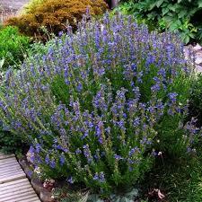 hysope cuisine hysope ou hyssopus officinalis une plante vivace aromatique à
