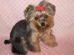 yorkie hair cut chart yorkie hair styles haircut exles hairstyles ideas