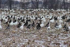 Duck Migration Map Snow Goose Migration