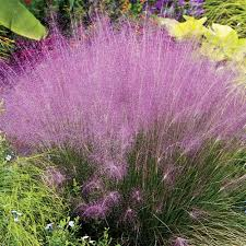 pink muhly grass adds texture movement mass to your landscape