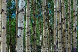 white bark on aspen tree trunks banff alberta canada