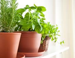 erba cipollina in vaso piante aromatiche in vaso come si coltivano