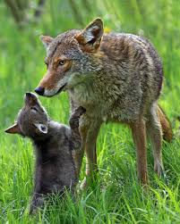 Vermont wild animals images What 39 s the deal with coydogs vermont public radio jpg