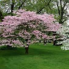 onlineplantcenter 7 gal pink weeping cherry tree p006g7 at the