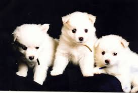 american eskimo dog london purebred american eskimo dog puppies for sale find a purebred dog