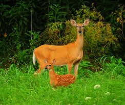 When Do Deer Shed Their Antlers by The Annual Deer Rut The Parklands