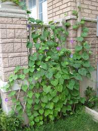 from dirt to plate planting morning glory vines for my lattice