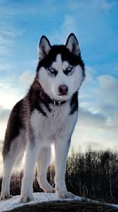 Wallpaper Dogs Download Wallpaper 750x1334 Dogs Husky Blue Sky Snow Iphone 6