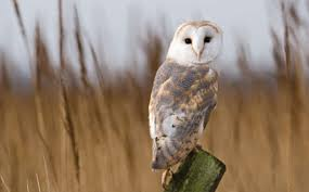 Barn Owl Photography View Topic Owls Of Ga U0027hoole Not Active Chicken Smoothie