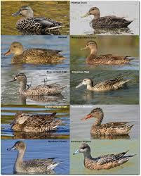 puddle ducks