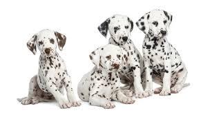 breed review dalmatian dogs pups argos pet insurance
