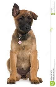 belgian sheepdog merchandise belgian shepherd puppy 3 months old sitting stock photography