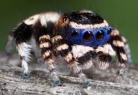 jumping spiders album on imgur
