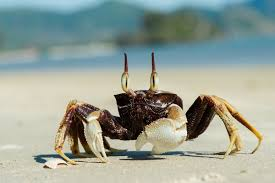 ghost crab wikipedia