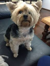 yorkshire terrier zuzi waiting to go for a walk love yorkies