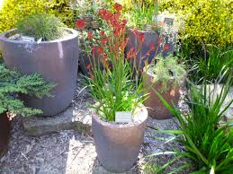 native plants landscaping best australian native plants for pots and containers gardening