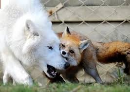 fox and wolf imgur
