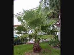 mexican fan palm growth rate palms of the dougherty garden washington washingtonia robusta