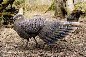 national bird of myanmar grey peacock pheasant 123countries com