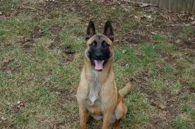belgian malinois competition about superpaws dog training long island new york city nassau