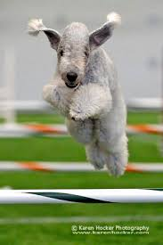 grooming a bedlington terrier puppy 73 best images about bedlington terrier on pinterest