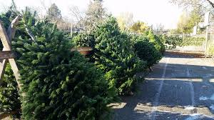 seattle greenlaker on sale now trees swags and wreaths