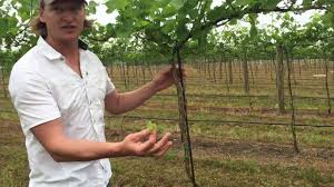 shoot thinning high cordon vines youtube