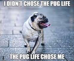 Funny Pug Memes - 10 funny pug memes