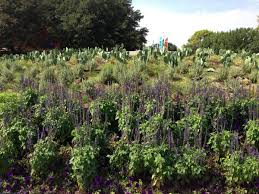 native texas plants take a closer look at big tex circle improvements kera news