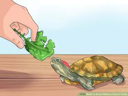 feed turtle 9 steps pictures