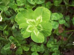 aliceeckles there are many ways to increase your luck with clover