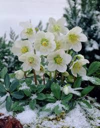 christmas rose u2022 helleborus niger u2022 st agnes u0027 rose u2022 clove tongue