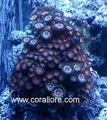 led lighting for zoanthids zoanthid coral corallore com