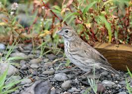 lark bunting calamospiza melanocorys hotspot birding