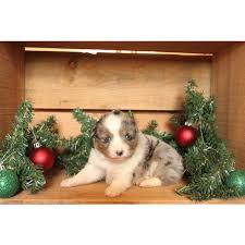 australian shepherd california puppies for sale miniature australian shepherd miniature