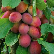 Patio Fruit Trees Uk by Buy Plum Trees For The Garden J Parker Dutch Bulbs