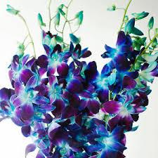 blue dendrobium orchids fresh flowers dendrobium orchids bom dyed blue ebay