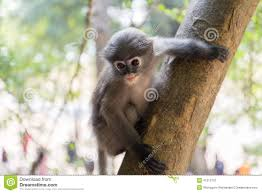 baby monkey tree stock photos images u0026 pictures 5 811 images