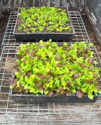 growing luscious lettuce year round in northern california u0027s gardens