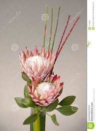 a beautiful arrangement of two king proteas royalty free stock