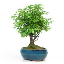 sageretia bonsai trees are tender shrubs native to central and