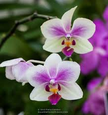 moth orchid a few moth orchids beautiful flower pictures