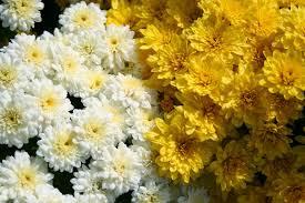 mums flower greenflex landscaping blog flower of november the chrysanthemum