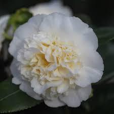 buy camellia camellia williamsii u0027jury u0027s yellow u0027 delivery by crocus