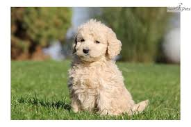 goldendoodle puppy treats meet a goldendoodle puppy for sale for 1 150 disney